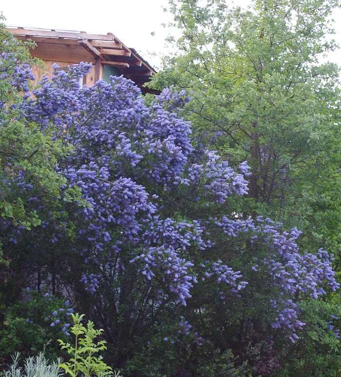 Ceanothus l t blue from las palitis said to be a good for Drought tolerant trees