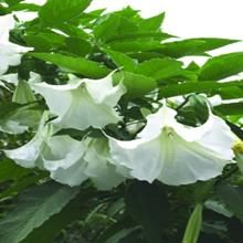 Betty Marshall Angel Trumpet for sale buy Brugmansia 'Betty Marshall' - so wanna grow one again!