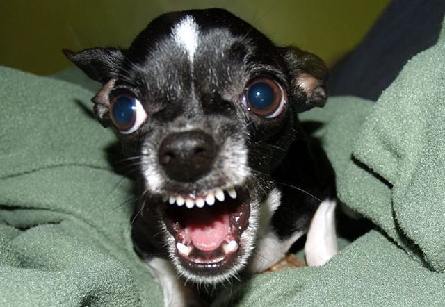 chihuahua training learn how to stop your chihuahua from