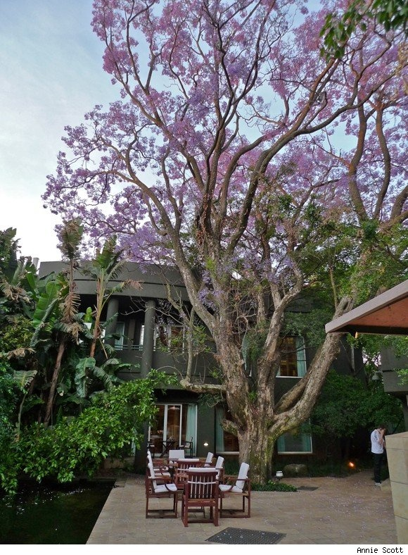 Saxon Boutique Hotel, Villas and Spa, South Africa - Jacaranda Trees