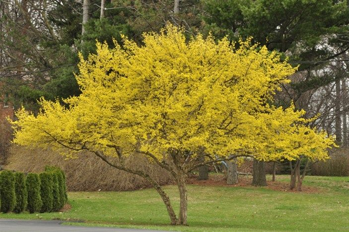 """Cornelian Cherry"" Can be grown in Va, generally pest free and can be grown under the canopy of larger trees.  CornusMasBlms5256s.jpg"