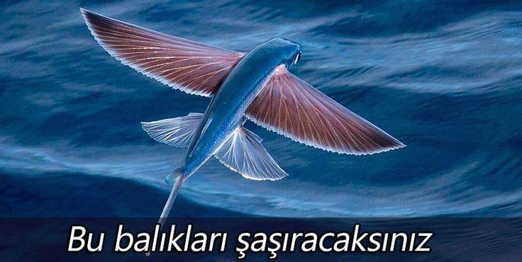 Bildiğimiz sıradan yüzen balığın özelliklerine aykırı gelebilecek şekilde yüzmenin dışında uçma becerisine de sahip olan uçan balıklar; Akdeniz, Atlantik, Büyük Okyanus ve sıcak iklim barındıran bö...