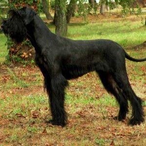 Фото пастушьей породы собак, наибольшего из шнауцеров - ризеншнауцера.