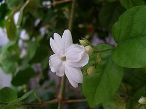 Arabian Jasmines (jasminum sambac): Jasminum sambac is a species of jasmine native to a small region in the eastern Himalayas in Bhutan and neighbouring India and Pakistan. It is cultivated in many places, especially across much of South and Southeast Asia. It is naturalised in many scattered locales: Mauritius, Madagascar, the Maldives, Cambodia, Java, Christmas Island, Chiapas, Central America, southern Florida, the Bahamas, Cuba, Hispaniola, Jamaica, Puerto Rico, and the Lesser Antilles…