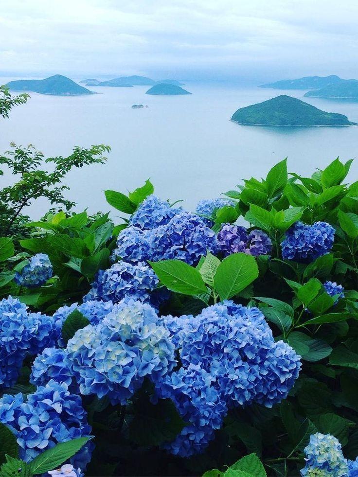 Mt. Shiude, Mitoyo, Kagawa, Japan, hydrangea