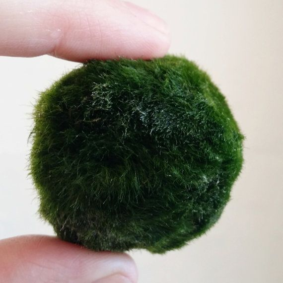Marimo Moss Ball by LittleLandsMelbourne on Etsy