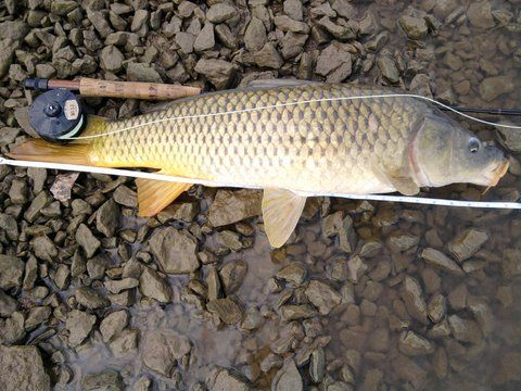35 best fly fishing for carp images on pinterest fishing for Trout fishing in kansas