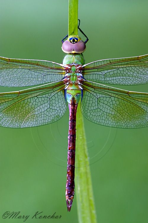 Green Darner Dragonfly - Macro Photo By: Mary Konchar