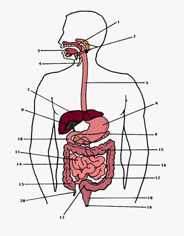 digestive system   Digestive system, Digestion, Colon health
