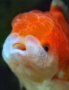 lionhead goldfish   Lionhead Goldfish: