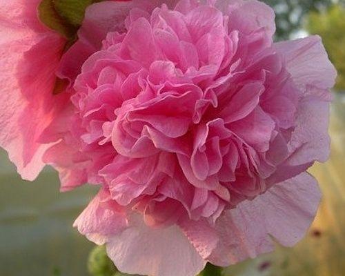 Statná krátkověká trvalka, dorůstající výšky kolem 2 metrů. Kvete od května do října nádhernými, lososově růžovými, plnými, až 10 cm velkými květy, které postupně odspodu vykvétají na květním stvolu. Topolovka růžová plena ´Chaters Rosa´ (dvouletá) Latinský název : Alcea rosea plena ´Chaters Rosa´  Popis: Statná krátkověká trvalka, dorůstající výšky kolem 2 metrů. Proto je často vysazována jako solitérní rostlina. Kvete od května do října  lososově růžovými, plnými, až 10 cm velkými 59,- Kč