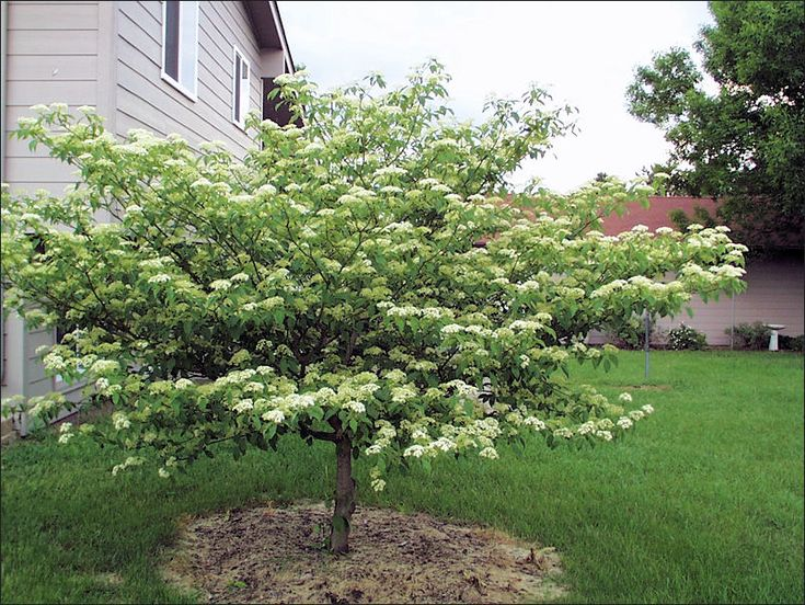 pagoda dogwood tree | Pagoda Dogwood Form- recommended by landscaper normally grows 10--20't high and 12x20' wide**planted a bareroot tree East of house in spring 2013 and a potted one in fall 2013**