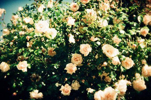 スキ | Tumblr | Flower power, Flower garden, Love rose