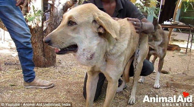 INDIA 🇮🇳 Animal Aid Unlimited save Indian dog's life MANGO by removing abscess the size of a balloon | Daily Mail Online