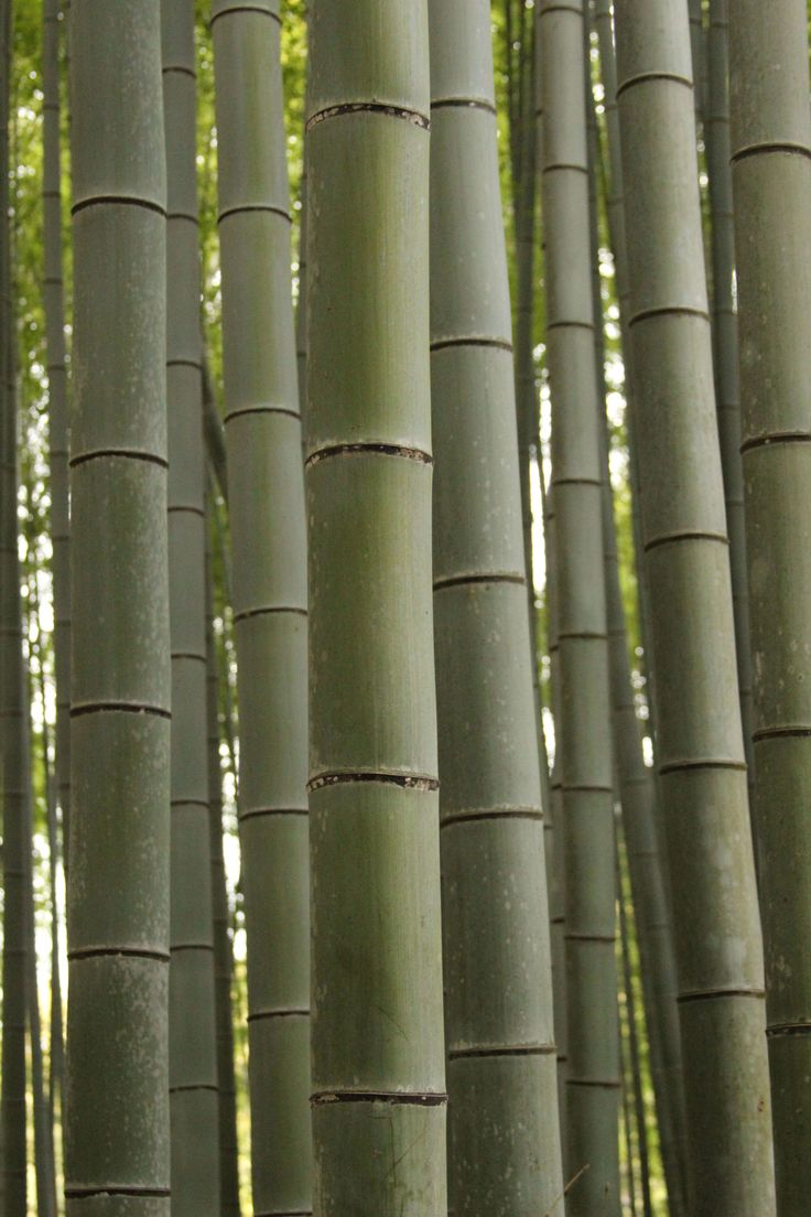 Bamboo forest outside kyoto described by Alice Shi Kembel