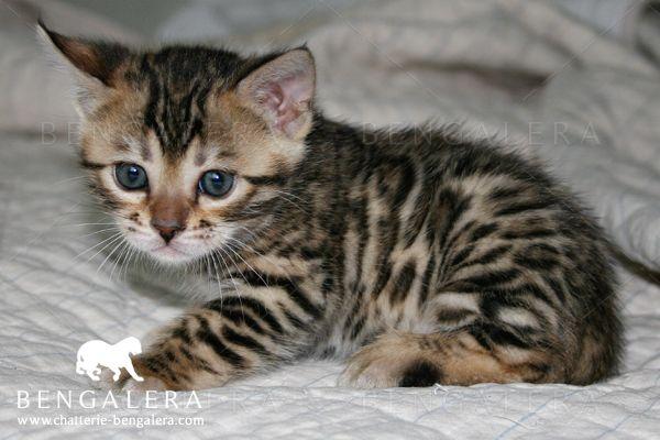 Bengal Kitten Chaton Meow W A N T Pinterest