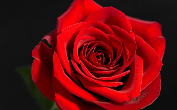 lovingyou Mind Blowing HD Red Rose wallpaper × Red Rose
