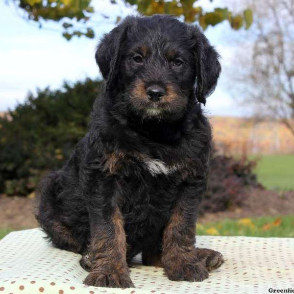 Rottie Poo Puppies For Sale Rottie Poo Breed Info Greenfield Puppies Rottweiler Rottweiler Puppies Rottie