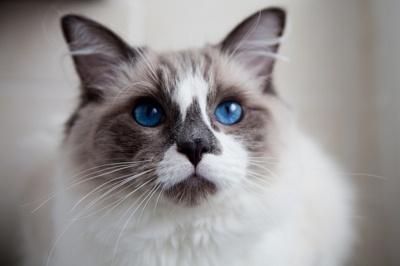 Ragdoll-crystal blue eyes