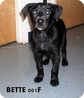 Ocala, FL - Labrador Retriever Mix. Meet Bette a Puppy for Adoption.