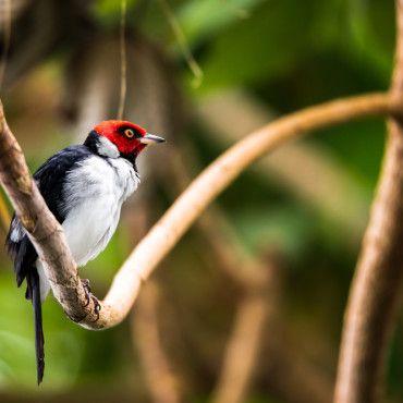 beautiful-bird-watching-tour-Reserva-El-Dorado-visit-Colombia-Lulo
