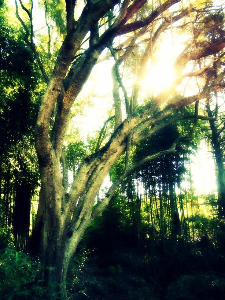 Magoebaskloof Forest - Tzaneen, SA