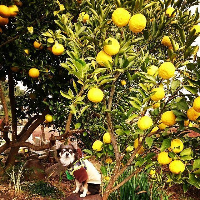 殿 と #ゆず ✨ ・ 余のお城の庭には柚の木とはっさくの木があるのじゃ ・ 余の手前にあるのが柚の木なのじゃ❤ 今日全部収穫したぞよ✨ 大きく見えるのじゃが 余の顔より小さいのじゃよ 後ろのはっさくはまだ食べ頃ではないらしいのじゃ ・ 今日のお洋服は前回のpicのくまさんフードなのじゃ❤ 男の子らしいお洋服じゃろ ・ #似顔絵オーダー #開店準備中  #dogs_of_instagram  #petstagram #petsagram  #dogsofinstagram  #ilovemydog #instagramdogs #dogstagram #lovedogs #lovepuppies #doglover #instadog#doglife #pet #petstagram  #doglovers #doglove#dogs#愛犬#チワワ#ロングコートチワワ#ロンチー#ブルータン #pretty#cute#Chihuahua #殿の優雅なる日常 #いぬら部