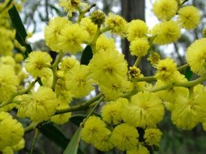 Beautiful Australian Wattle