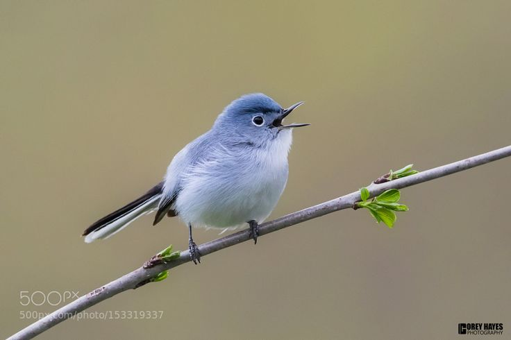 Blue-gray-Gnatcatcher by coreyhayes via http://ift.tt/1X1Cb8O