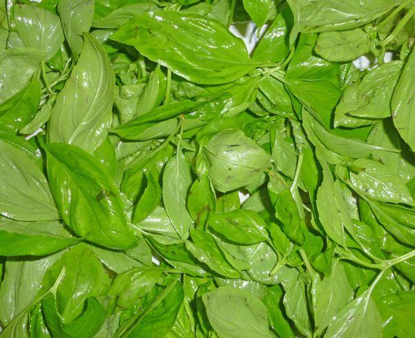 Plus de 1000 id es propos de main verte sur pinterest jardins belle et herbes aromatiques - Laurier comestible comment reconnaitre ...