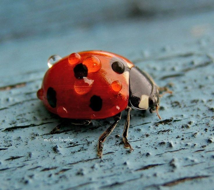 A Ladybird with Raindrops
