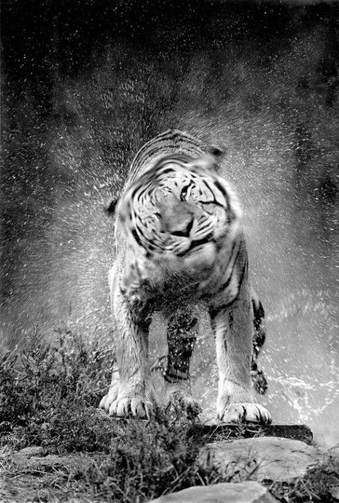 tiger shakeWhite Tigers, Big Cat, Wild, Photography Nature Animal, Animal Photography, Tigers Shakes, Black And White Animal, Beautiful, Creatures
