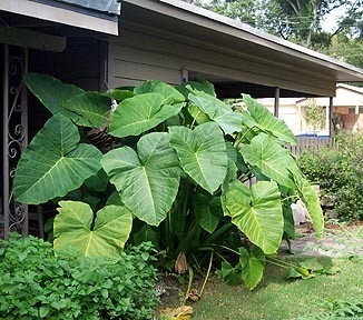 elephant ears for the patio
