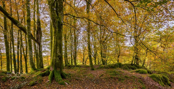 Autumn in the Forest - Autumn in the beech forest.
