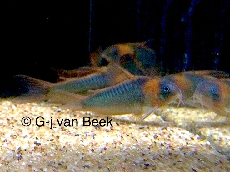 1000+ images about Freshwater Life on Pinterest Cichlids, Angelfish ...