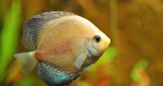 17 best images about discus fish on pinterest take care for Easiest fish to take care of