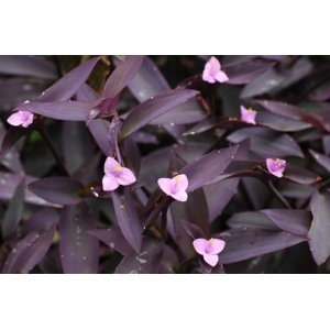 purple heart plant setcreasea indoors or out easy