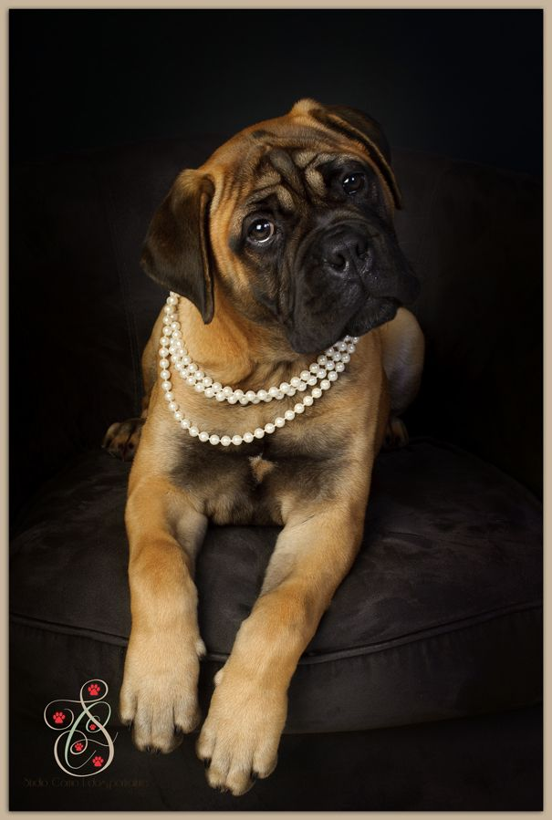 SpotEdwards-6 English Bullmastiff Puppy Dogs #Bull #Mastiff Dogs