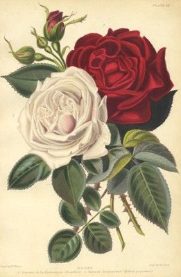 Roses.  Hand-colored antique print (circa 1850s).  MARY!