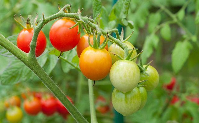 best way to grow tomatoes