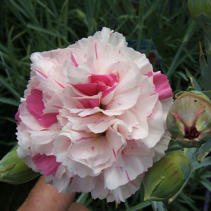 Carnation 'Baileys Celebration' (Dianthus caryophyllus)
