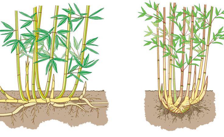 Wurzeln von Phyllostachys (links) und Fargesia im Vergleich: Der eine bildet lange Ausläufer, der andere bleibt kompakt