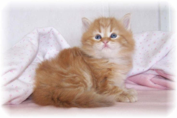 Terra Siberian Cats & Kittens -- We are dreaming of getting a Siberian Kitten from this Breeder.  This is my dream kitten!