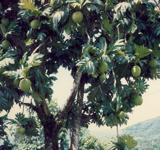 l 39 arbre pain ecorces fruits fleurs cosses graines barks. Black Bedroom Furniture Sets. Home Design Ideas