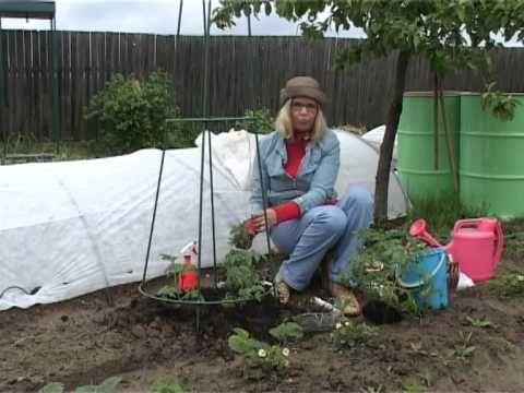 Выращивание томатов вертикальным способом - YouTube