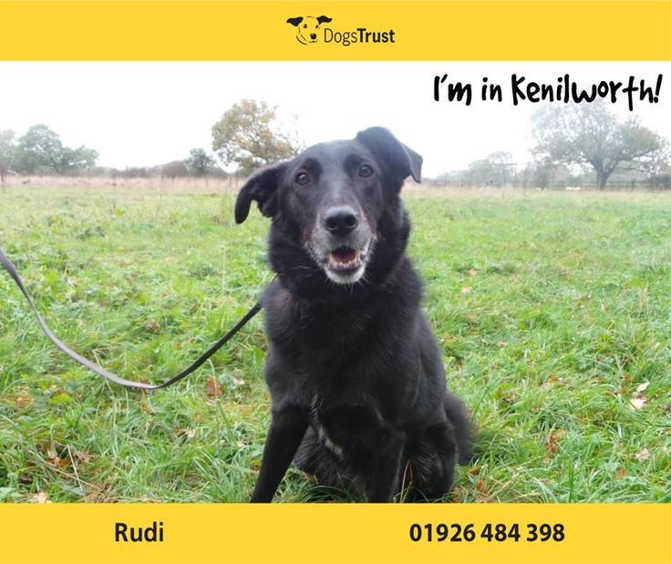 Rudi here is an enthusiastic chap from Kenilworth who loves to learn new things. He also loves his food and treats and can be easily bribed.
