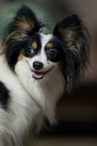 Papillon  Origin: France  Colors: White with patches  Size: Small  Type of Owner: Novice  Exercise: Little  Grooming: Regular   Trainability: Easy to train  Combativeness: Can be slightly dog-aggressive  Dominance: Moderate  Noise: Not a barker