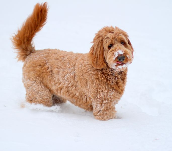 About Labradoodles- Aussiedoodle and Labradoodle Puppies | Best Labradoodle Breeders in Washington State, Portland, Oregon