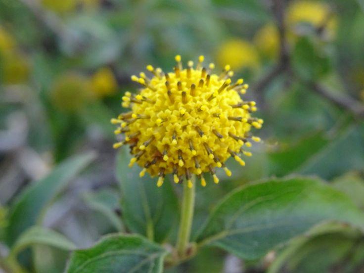 Podanthus mitiqui - flora chilena