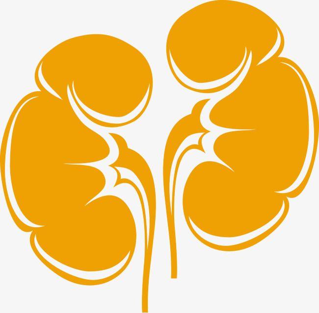 kidney,Creative kidney,Vector kidneys,Human kidney png Pictures Free Download,organ,Vector,Creative hospital,Creative Medical Applications,Hospital PPT material,Vector human organs material Free Download
